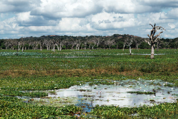 swamp with lotos near the forest stock photo