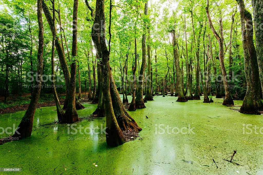 Swamps in Louisiana, USA stock photo