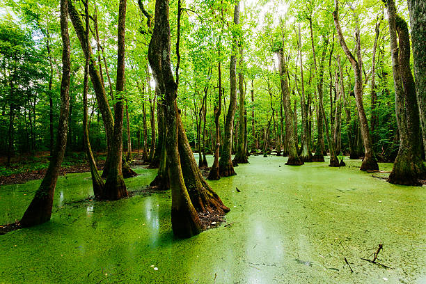 swamps in louisiana, usa - bald cypress tree stockfoto's en -beelden