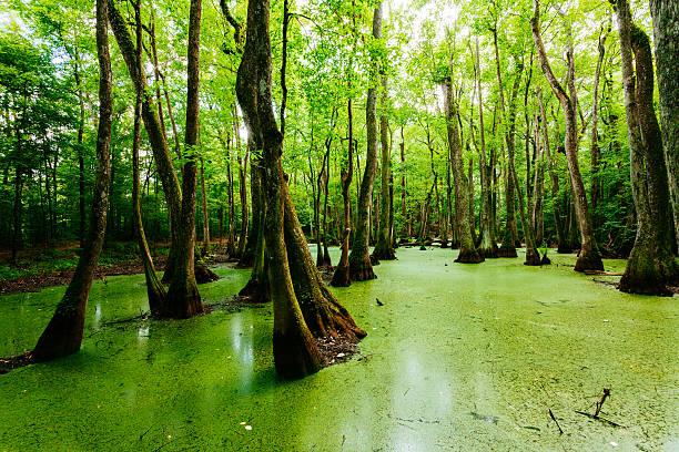 Swamps in Louisiana, USA stock photo