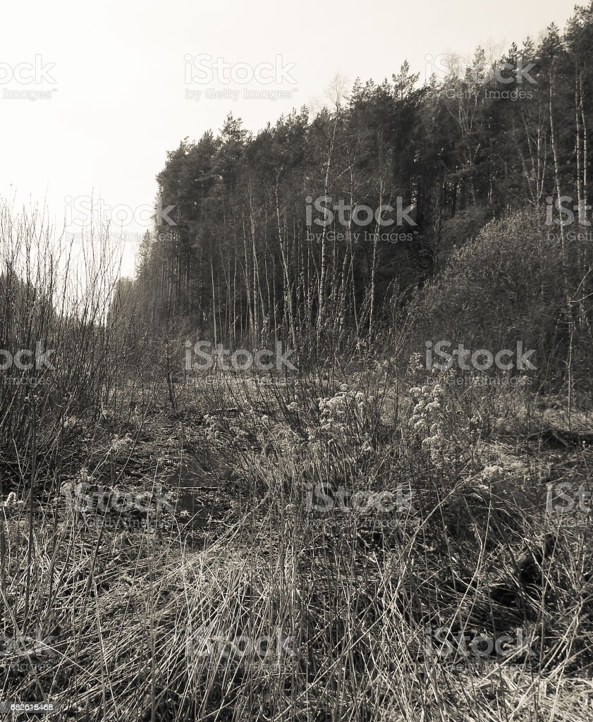 Swampy forest. Siberia stock photo