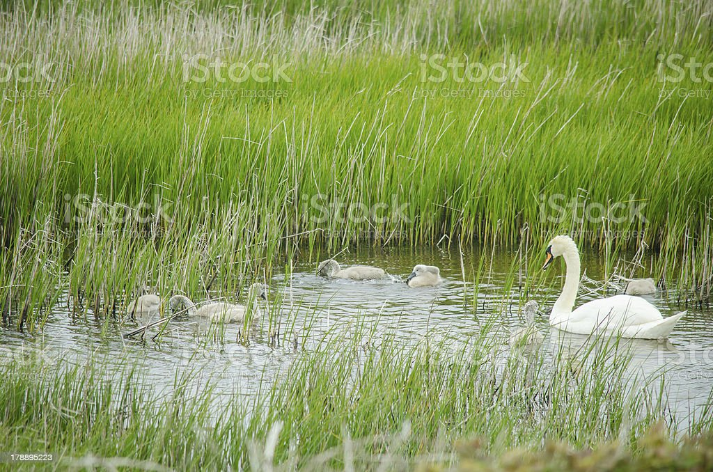 Swan and chicks in Ireland royalty-free stock photo