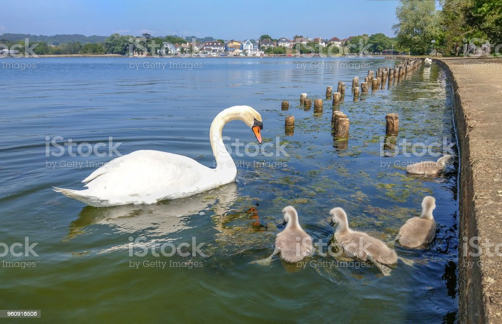 Swan and cygnets on the lake in Poole Park stock photo