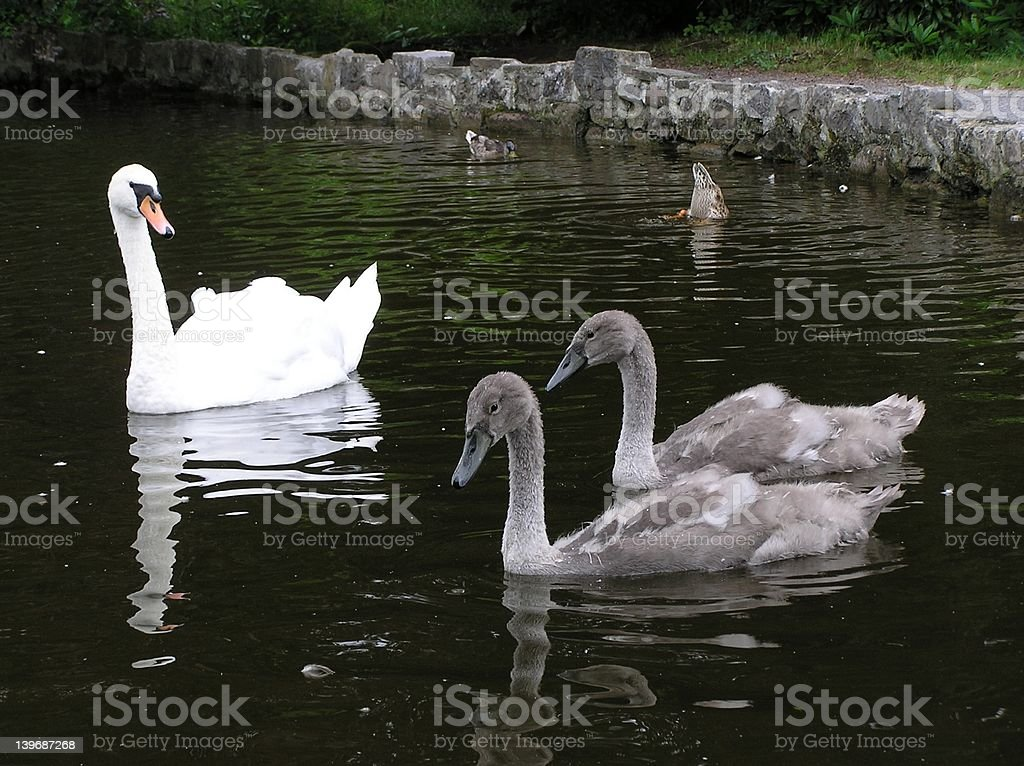 Swan And Cygnets royalty-free stock photo