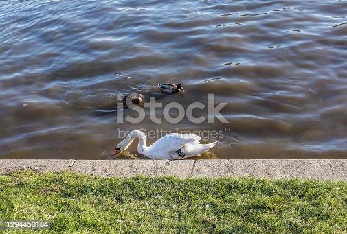 istock Swan And Ducks Outdoor Happy Animals 1294450184