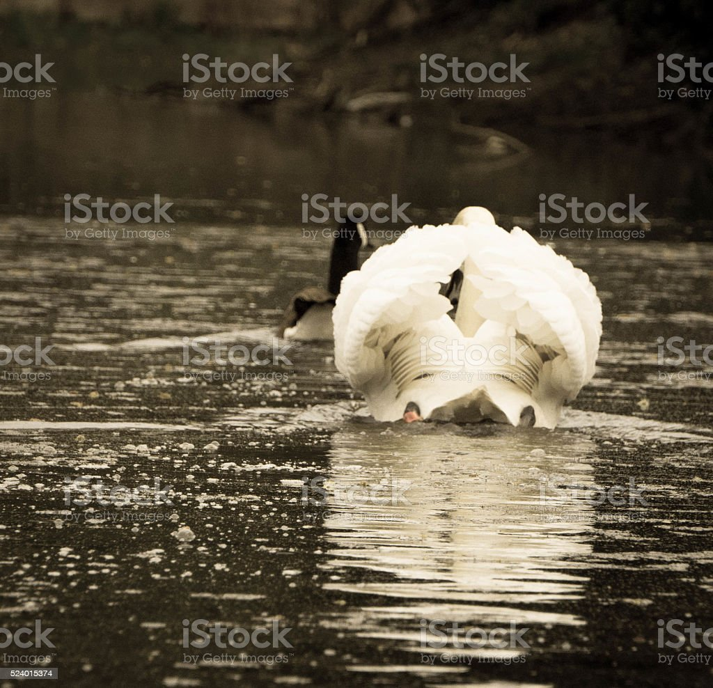 Swan and Goose behind stock photo