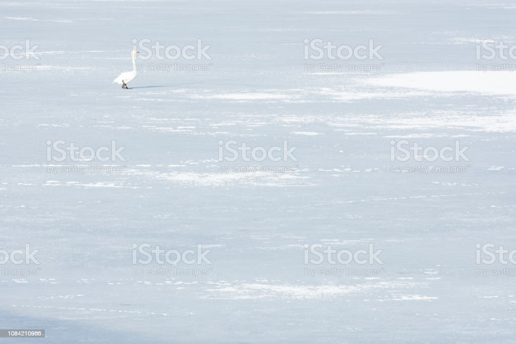 Swan and ice and snow on frozen lake in winter stock photo