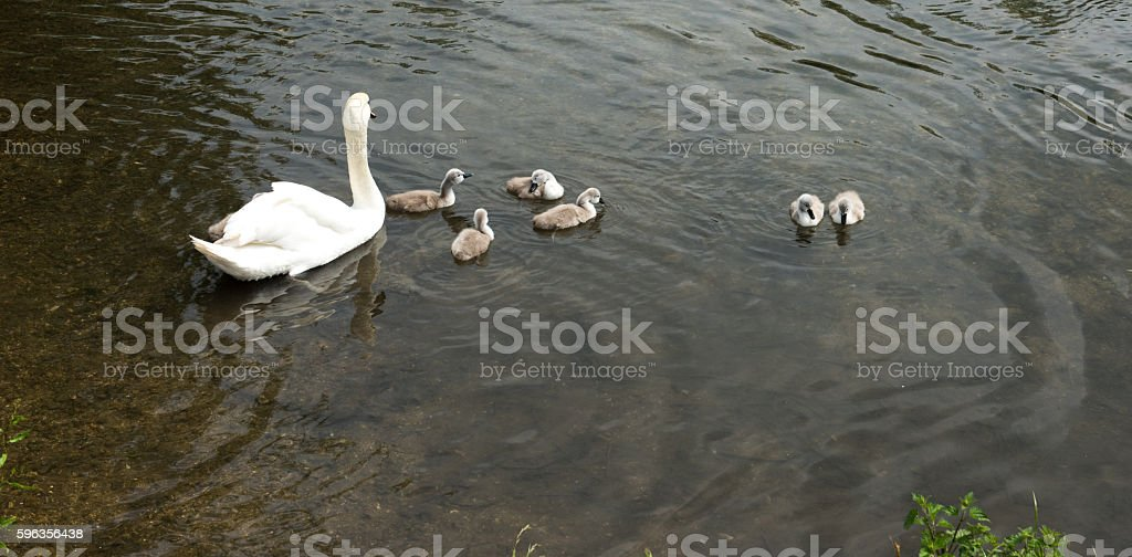 Swan and swanlings royalty-free stock photo