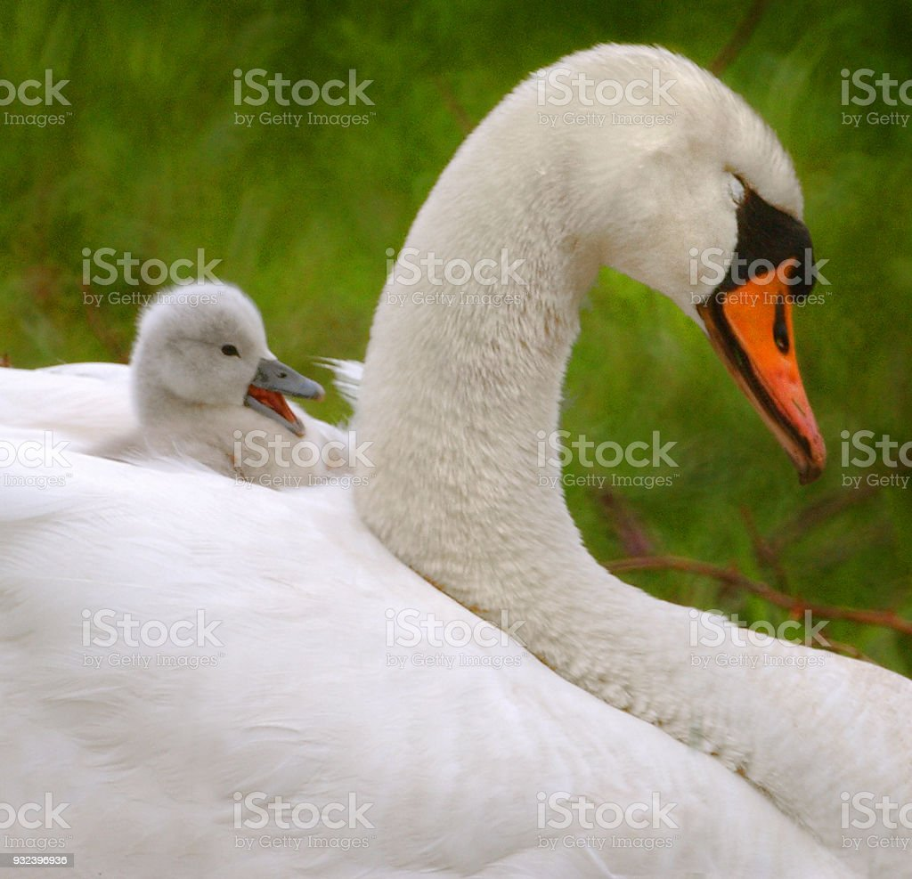 Swan and sygnet stock photo