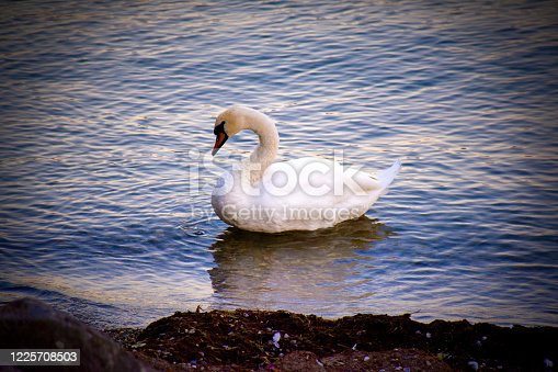 Swan at Lake Léman -Switzerland
