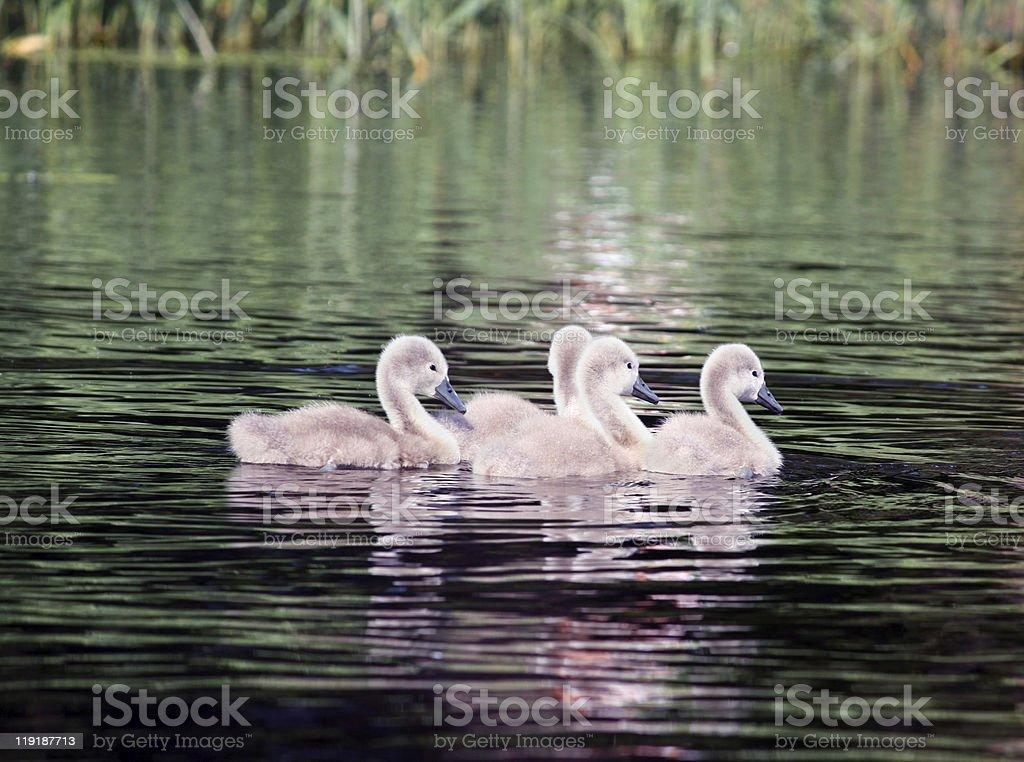 Swan baby stock photo