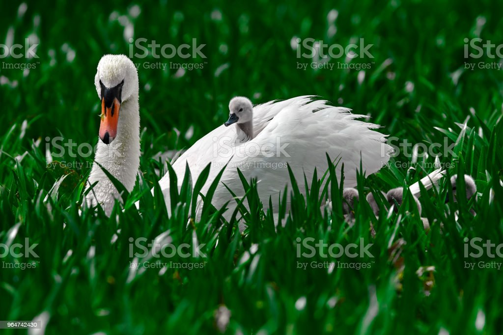 swan bird in nature royalty-free stock photo