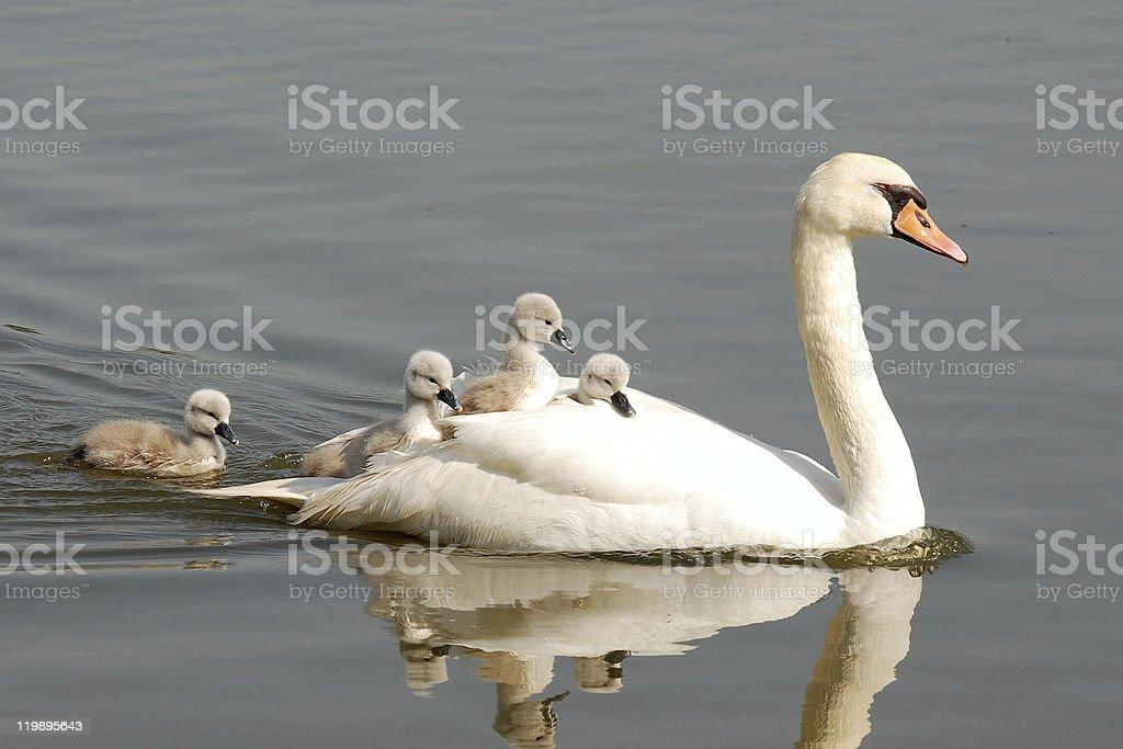 swan carries chicks piggyback stock photo