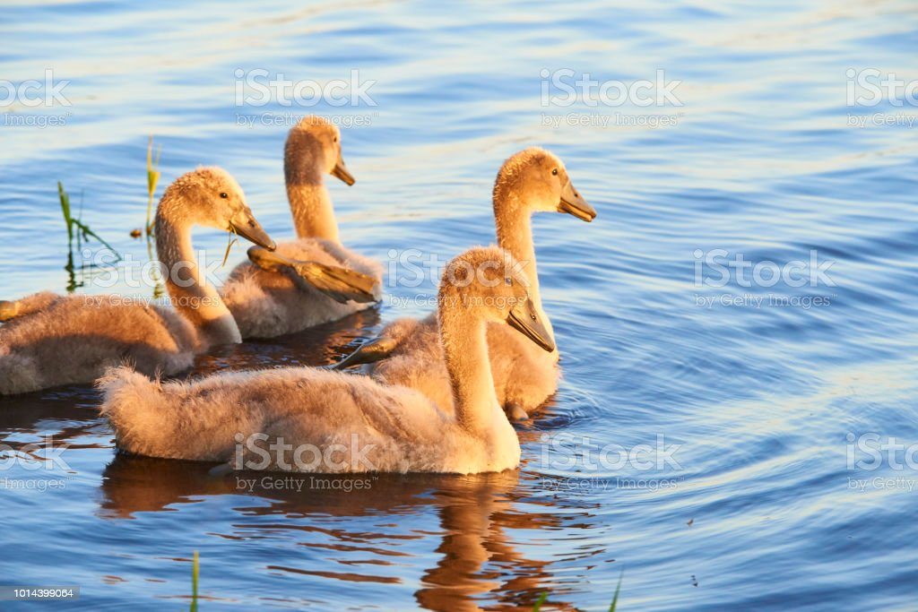 Swan chicks floating on the water at sunset stock photo