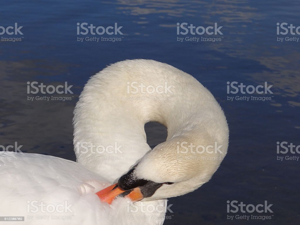 Swan cleaning its plumage stock photo