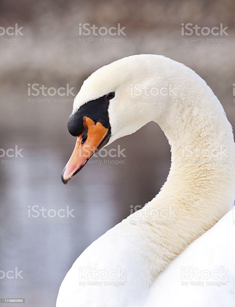 Swan Close Up royalty-free stock photo