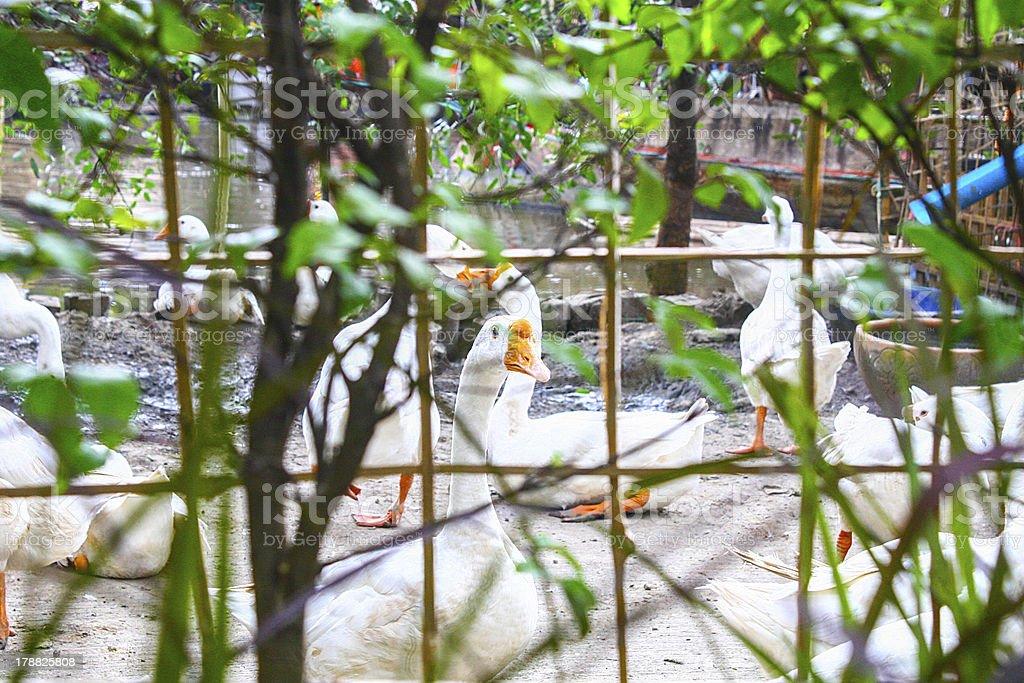 swan closed royalty-free stock photo