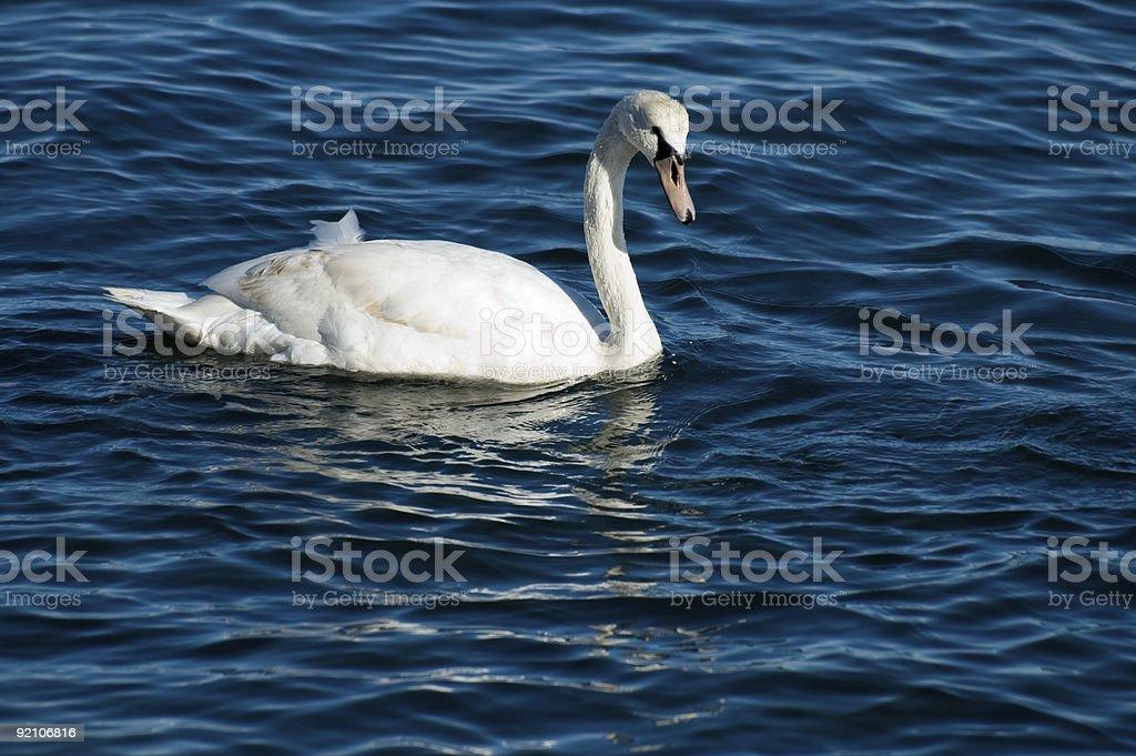 Swan Closeup stock photo