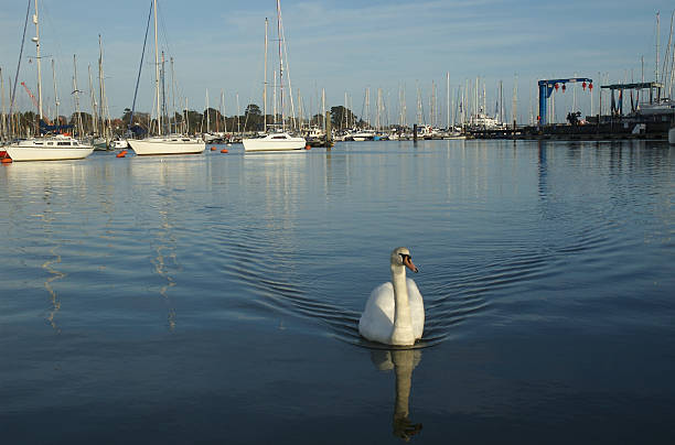 Swan coming in harbour stock photo