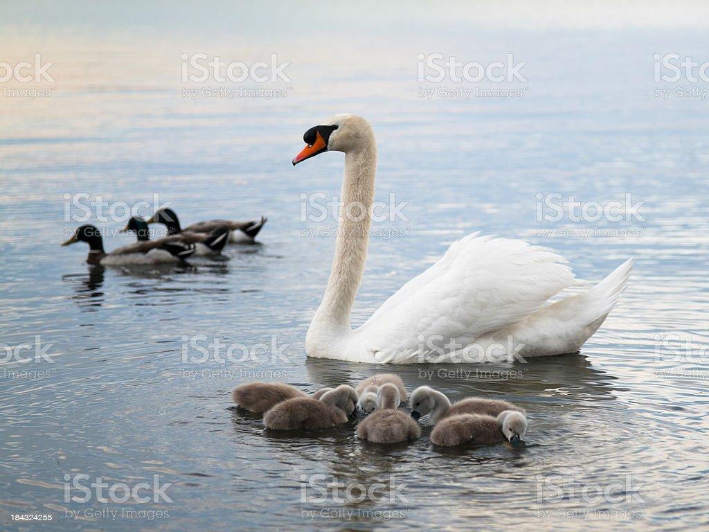 Swan, cygnets and ducks stock photo