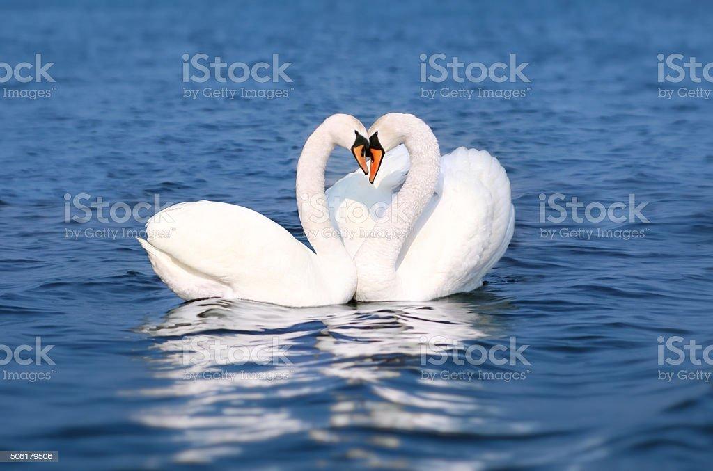 Swan Fall in Love, Birds Couple Kiss, Animal Heart Shape stock photo