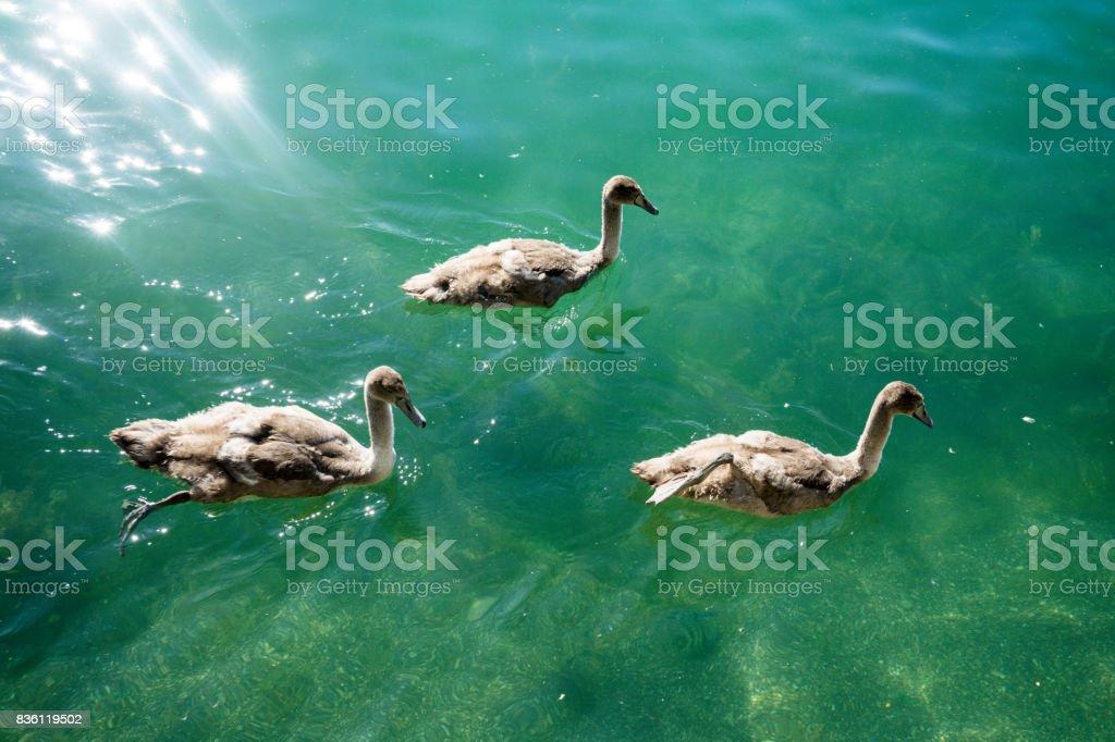 swan familiy at lake zurich in switzerland stock photo