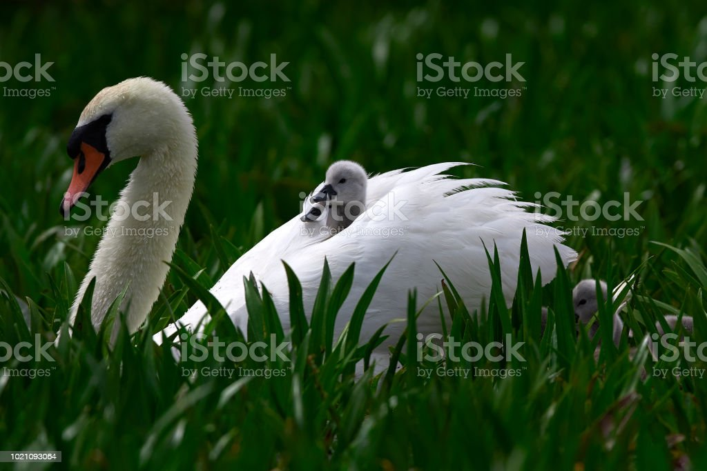 swan family in the rush stock photo