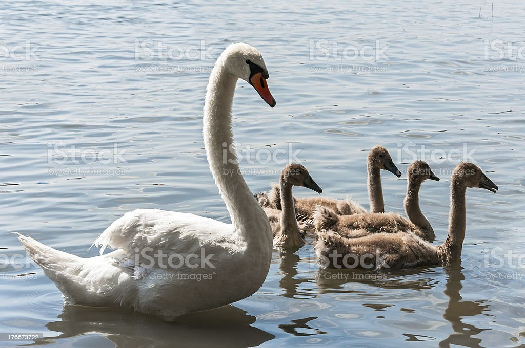 Swan family on a lake royalty-free stock photo