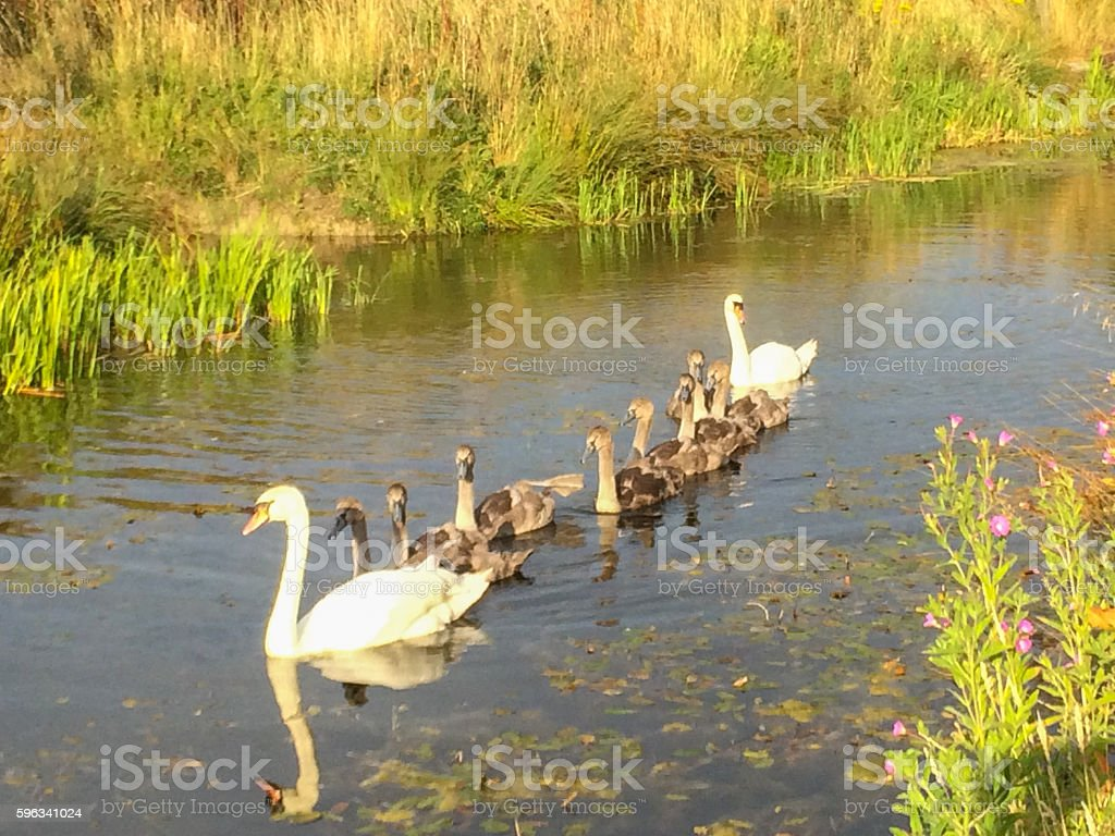 Swan family on Wilts & Berks Canal royalty-free stock photo
