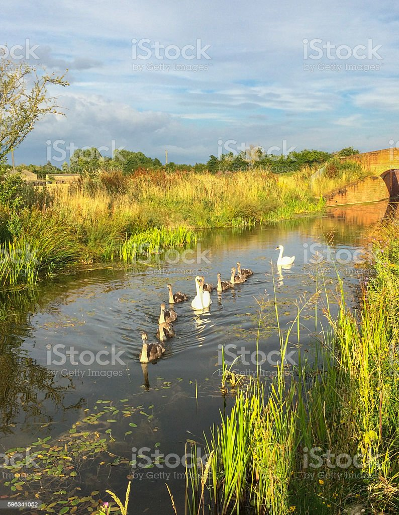 Swan family on Wilts & Berks Canal Lizenzfreies stock-foto