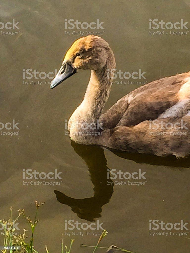 Swan family on Wilts & Berks Canal Lizenzfreies stock-foto