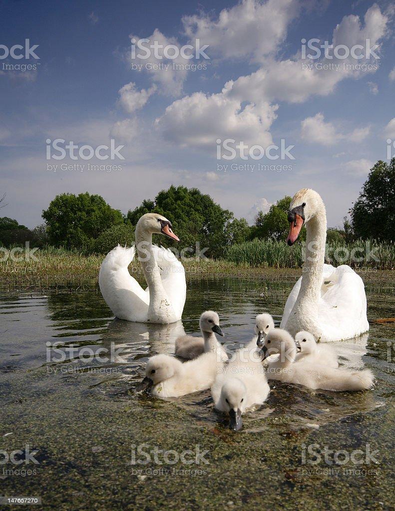 swan family royalty-free stock photo