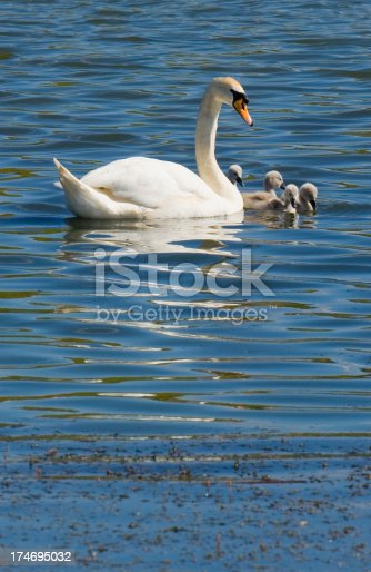 Adult Mute Swan with cygnets.