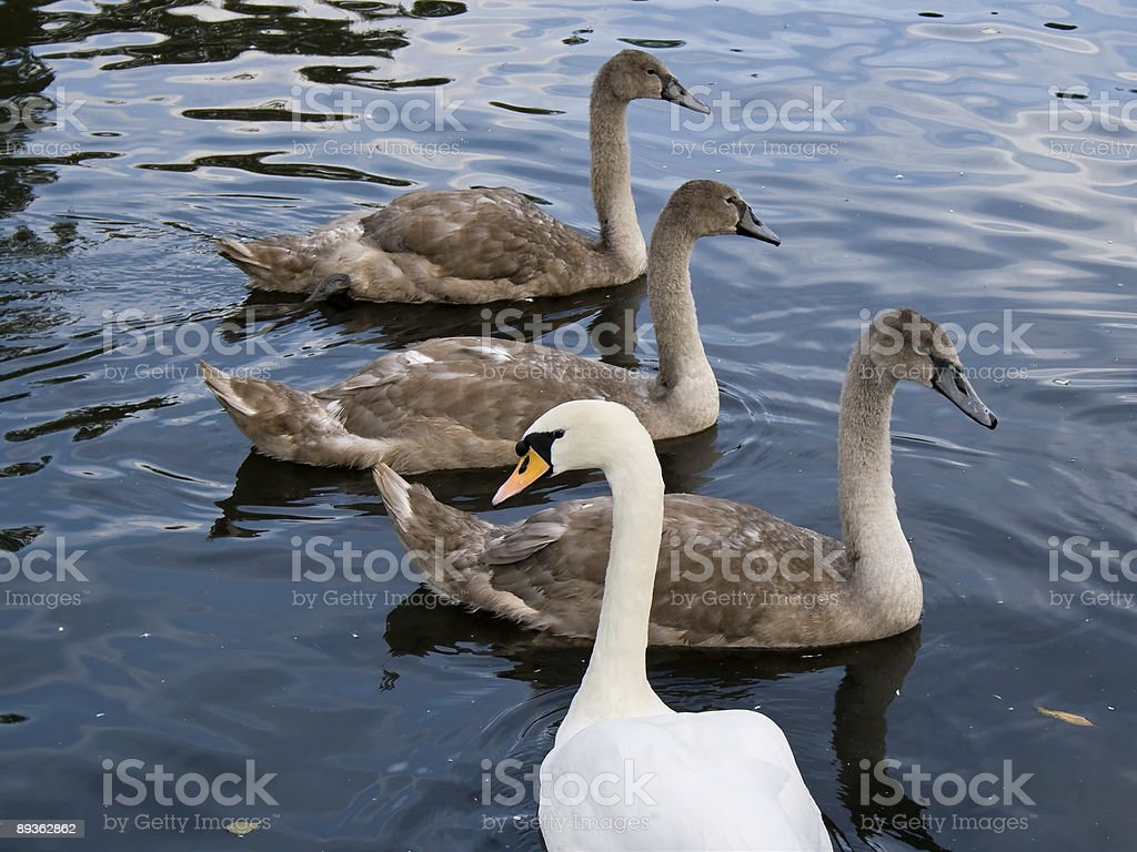 Swan famiglia foto stock royalty-free