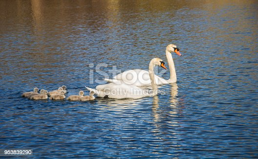 A pair of white swans take their newly hatched brood of eight cygnets out on a foraging trip on Shawme Pond in Sandwich, Massachusetts.