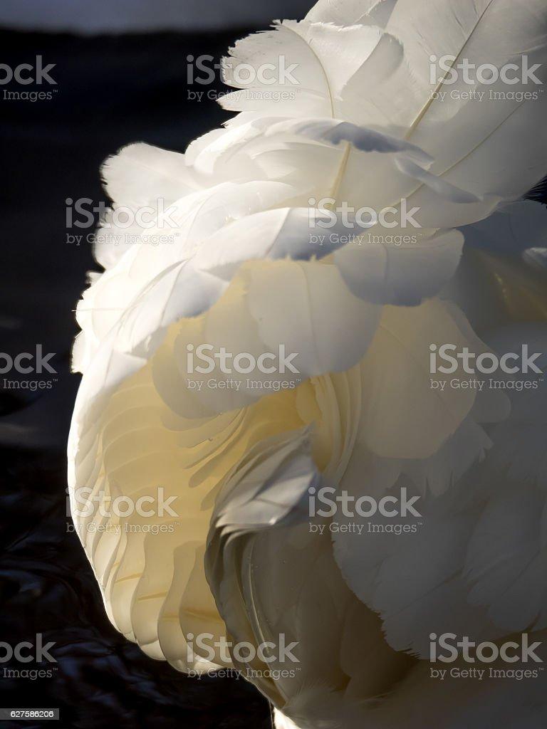 swan feathers stock photo