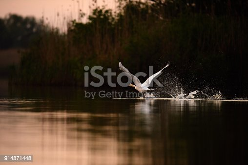 side view of white swan flying in the wind in sunrise time.