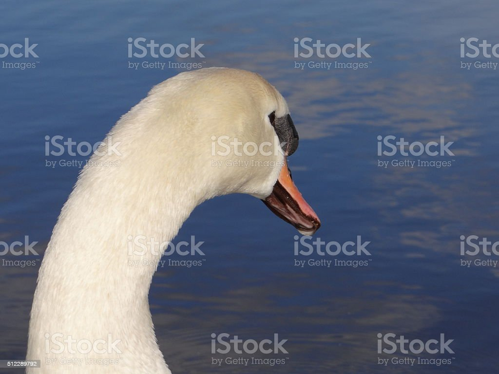 Swan from behind stock photo