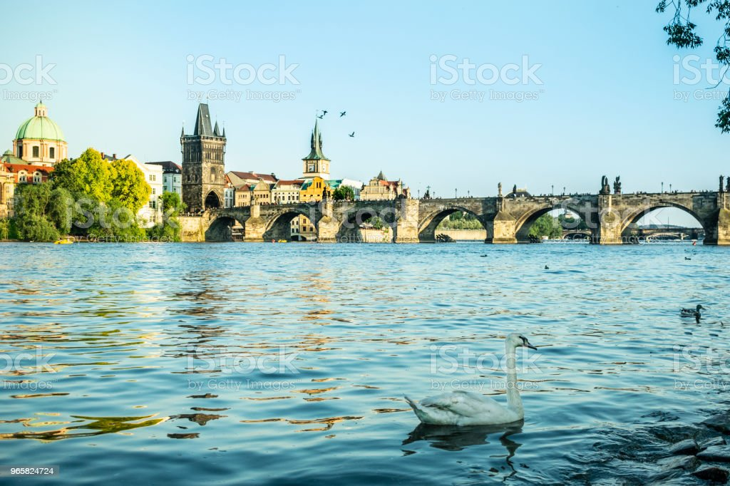 Swan from Charles Bridge in Prague on the river - Royalty-free Animal Stock Photo