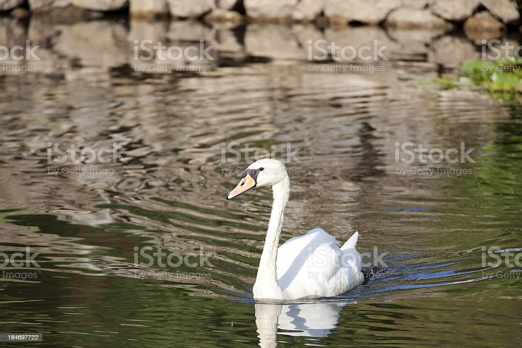 Swan in a lake royalty-free stock photo