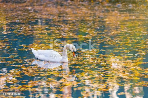 White swan in profile on a blue water surface of the lake, strewn with autumn yellow and orange leaves. Beautiful reflections and highlights of water