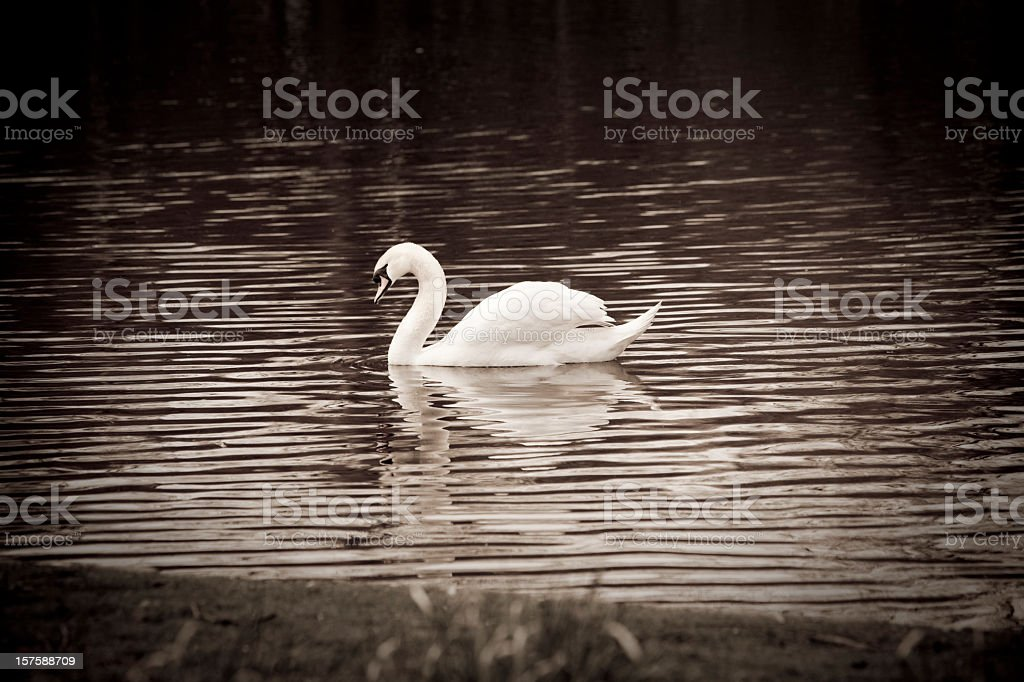 Swan in a lake with nice reflections royalty-free stock photo