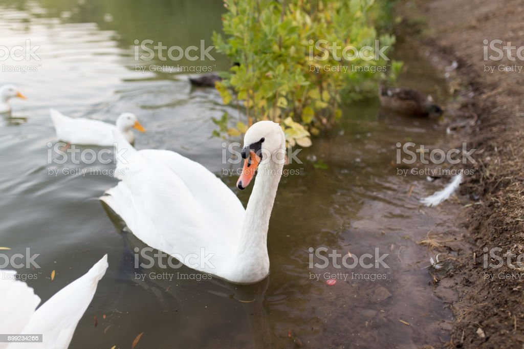 Swan in a pond in nature stock photo