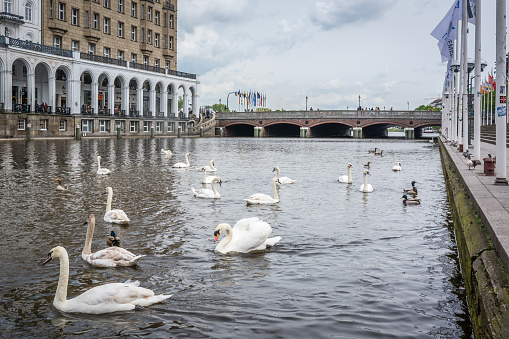Swan in Alster river in old town of Hamburg