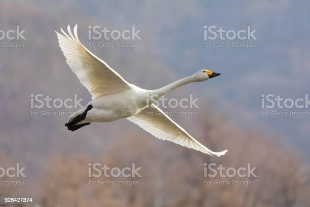 Swan in flight picture id926427374?b=1&k=6&m=926427374&s=612x612&h=9okdhlsdtntwtansctmj1pnjchndseqpxxm863f3qwg=