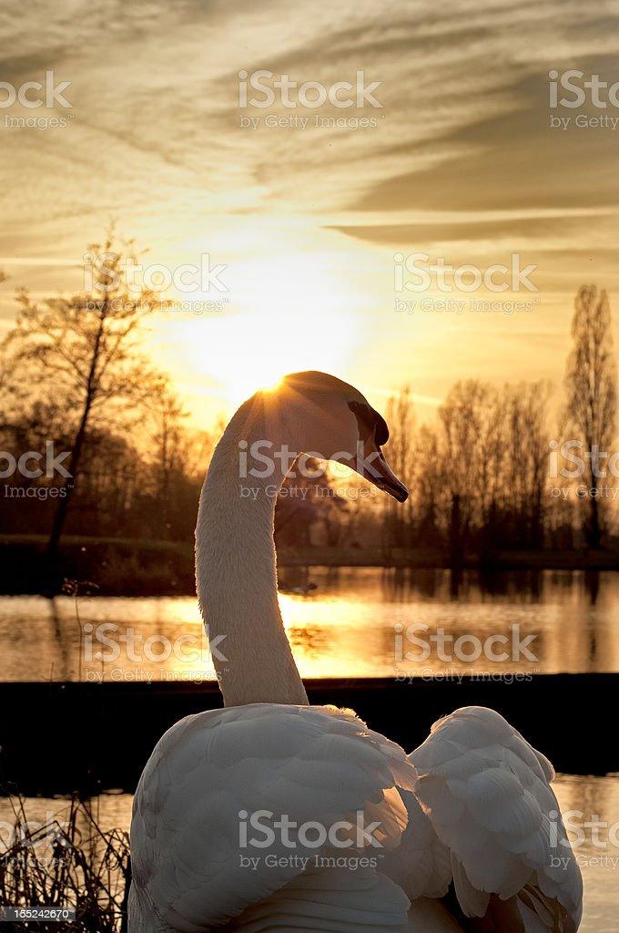 Swan devant le coucher du soleil et lac - Photo