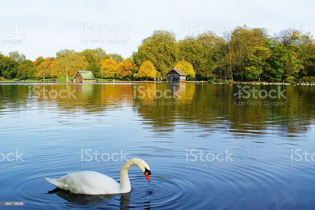 Swan in Hyde Park London in Autumn stock photo
