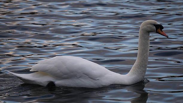 Swan In Hyde Park stock photo