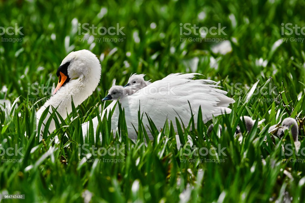 swan in nature with her babies royalty-free stock photo