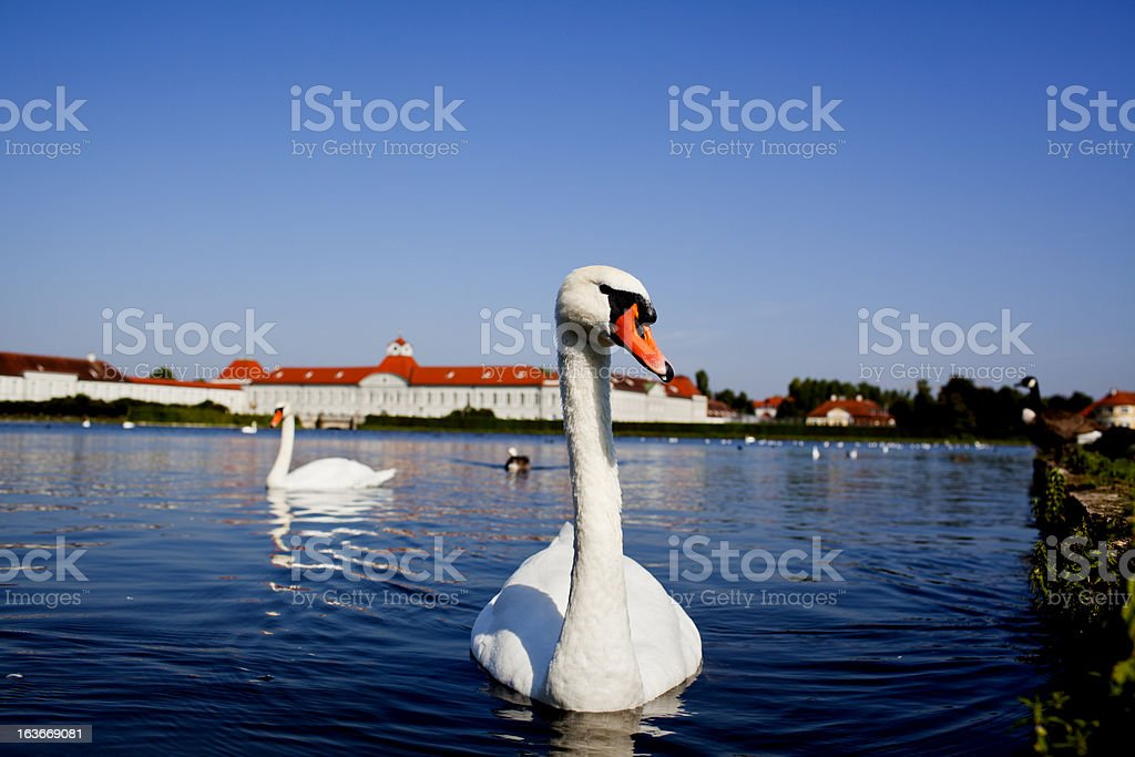 Swan in Nymphenburg palace stock photo